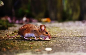 A mouse eating a peanut