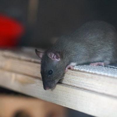 Rat pest control